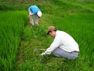 稲刈るスタイル