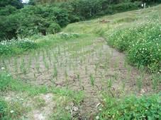 上の新しい田んぼはひび割れで水が抜けてピンチ